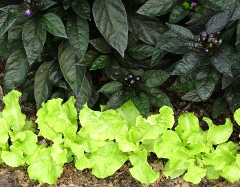 'Black Pearl' pepper with 'Australian Yellow' lettuce