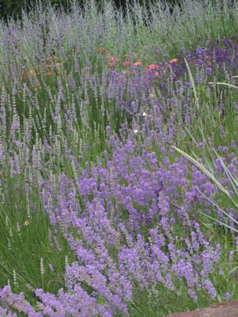 fs-garden-lavender-on-hill-resized.JPG