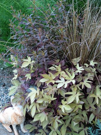 'Sweet Caroline Bronze' sweet potato vine with Carex buchananii and Haloragis erecta 'Wellington Bronze'