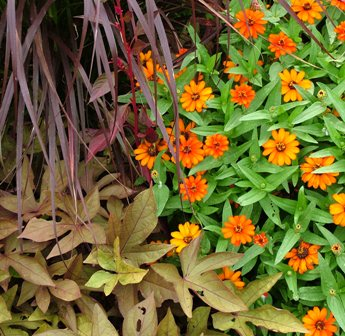 'Sweet Caroline Bronze' sweet potato vine with 'Profusion Orange' zinnia and purple fountain grass