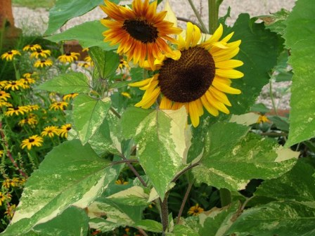 Variegated sunflower originally from Plant World