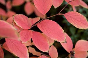 stewartia autumn leaves