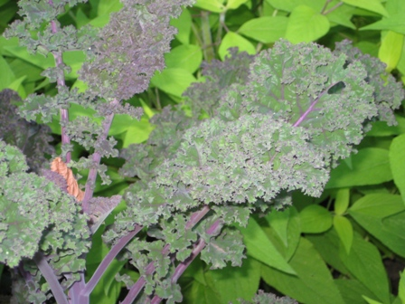 Kale and Salvia Up Close