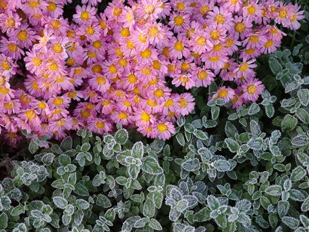 Chrysanthemum 'Mei-Kyo' and frosty Nepeta Nov 8 07