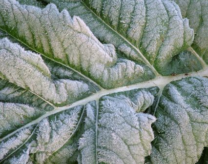 Frost on Cynara cardunculus (cardoon) Nov 8 07
