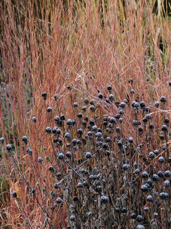 Rudbeckia fulgida var. fulgida against Schizachyrium scoparium 'The Blues' Nov 8 07
