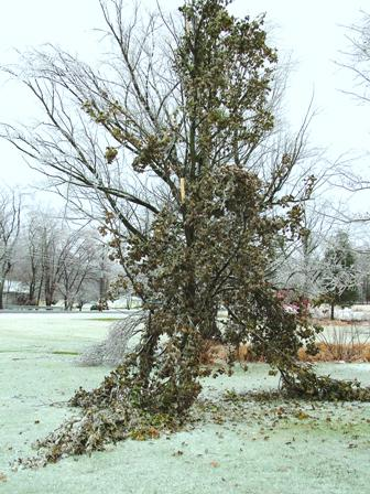 Liquidambar Rotundiloba ice damage Dec 16 07