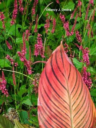 Canna Tropicanna with Persicaria Taurus Sept 15 07
