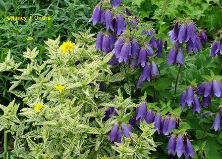 Heliopsis 'Loraine Sunshine' with Campanula 'Sarastro' June 8 06