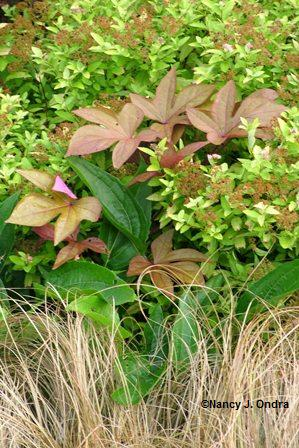 Ipomoea 'Sweet Caroline Bronze' with Carex 'Toffee Twist' Echinacea Spiraea mid August 05