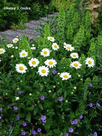 Leucanthemum 'Becky' with Molucella laevis and Geranium Rozanne early July 05