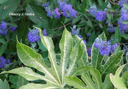 Fatsia 'Spider's Web' with caryopteris seedling mid Sept 05