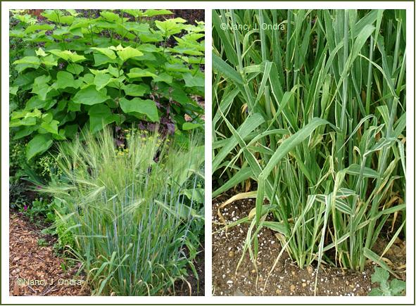 Barley 'Montcalm Mutant' and 'Variegata' late June 05