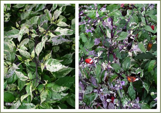 Pepper 'Tricolor Variegata' late July and mid Oct 05