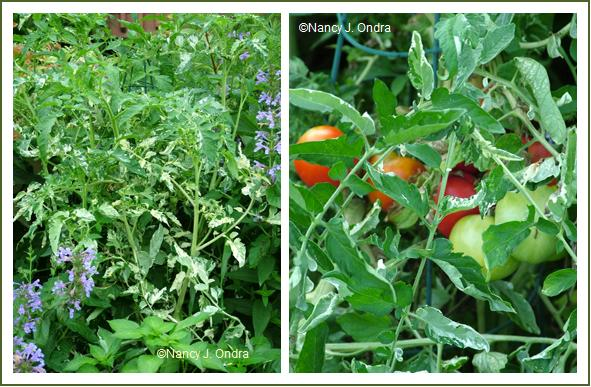 Tomato 'Variegata' mid July and early August 05