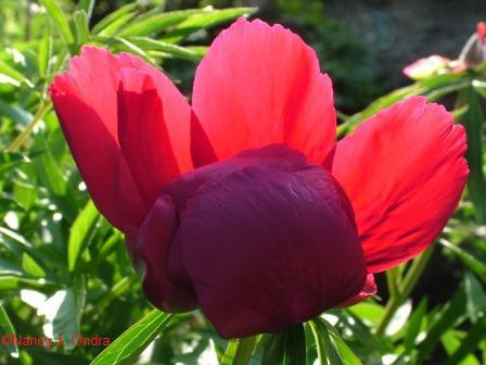 Paeonia flower May 12 08