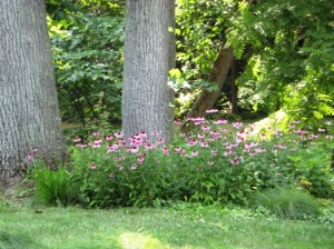 Echinacea in woodland setting at Chanticleer