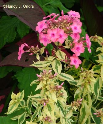 Variegated foliage *and* bright pink flowers? \'Goldmine\' phlox is truly a gift for gaudy gardeners.
