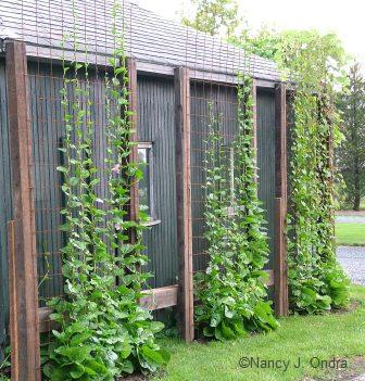 Malabar spinach and morning glories at Linden Hill Gardens, Ottsville, PA