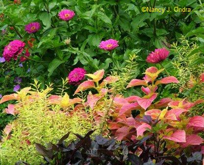 zinnia-purple-prince-coleus-aug-14-08
