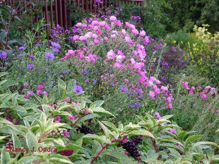 New England aster (Aster novae-angliae) seedlings with variegated pokeweed (Phytolacca americana 'Silberstein')