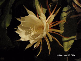 When open, cereus flowers are 8 to 9 inches wide and deep because of the reflexed sepals.