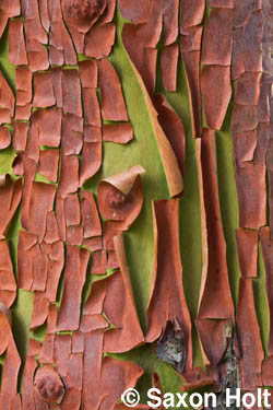 madrone bark as peeling paint