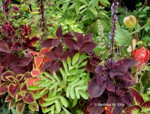Coleus and other tropicals share space on crowded benches.
