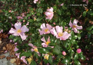 Fall-blooming camellia.