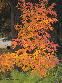 Three-flower maple, Acer triflorum