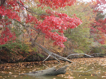 Red oak (Quercus spp.) on Worton Creek
