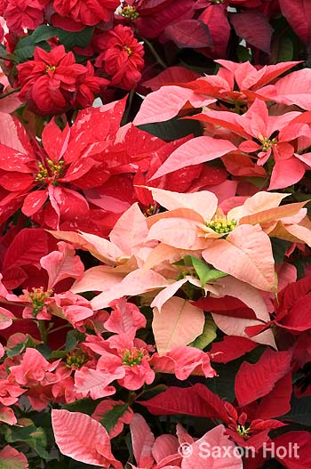 Poinsettia mixed colors