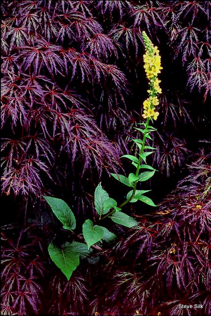 new-verbascum-and-maple