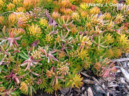 sedum-rupestre-angelina-march-14-08