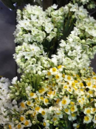 israel-11409-garden-center-narcissus-resized-12s-for-2-dozen