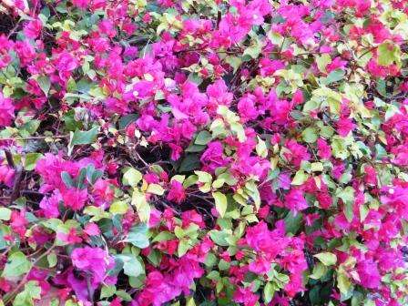 pink-bouganvillea-resized