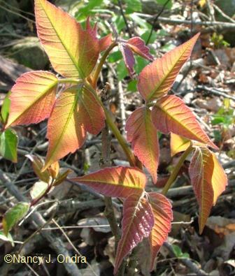 Toxicodendron radicans (CC 1)