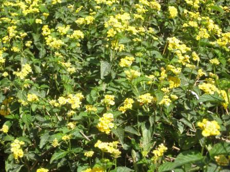 21509-yellow-lantana-bush-up-close