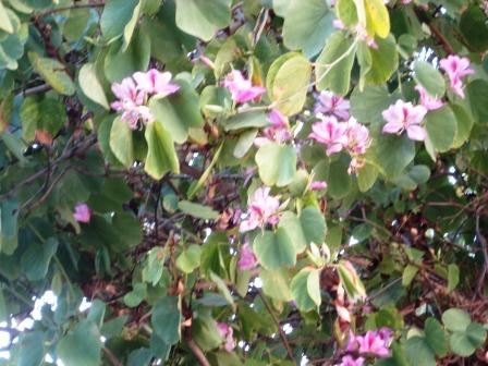 bauhinia-tree-resized