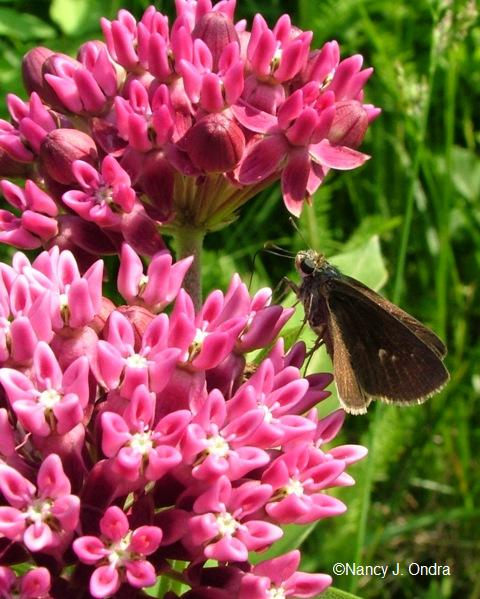 butterfly-on-asclepias-june-18-08