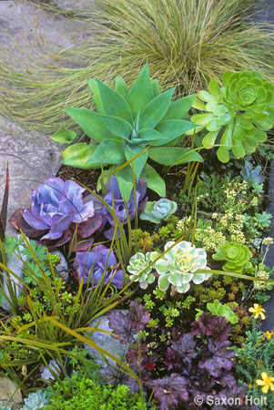 Succulents used as annual plants
