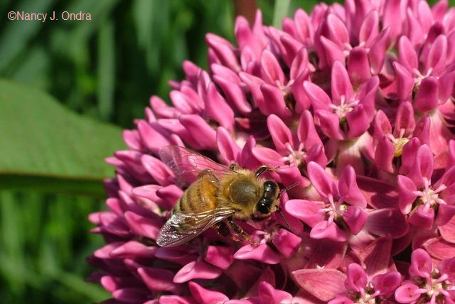 honeybee-on-asclepias-june-18-08
