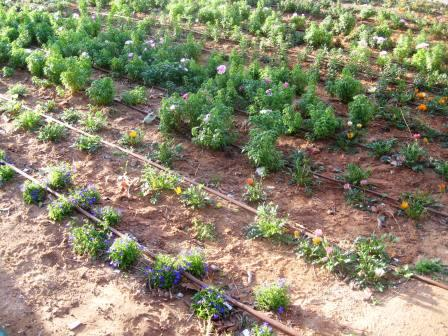 israel-newly-planted-flowers-rev