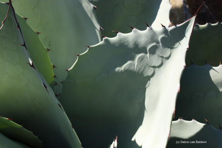 agave_parryi