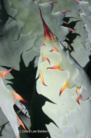 agave_potatorum