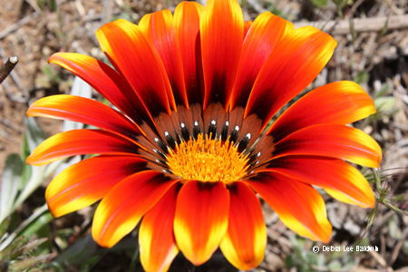 gazania_from_side_resized