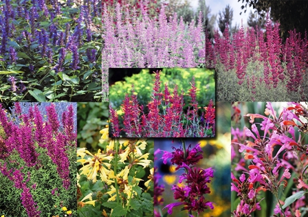 hcg-collage1-agastache-collection-from-david-salman-resized1