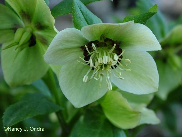 helleborus-x-hybridus-orion-type-april-13-09