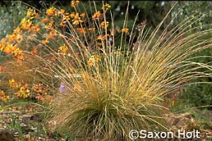 Deer Grass (Muhlenbergia) in my autumn garden