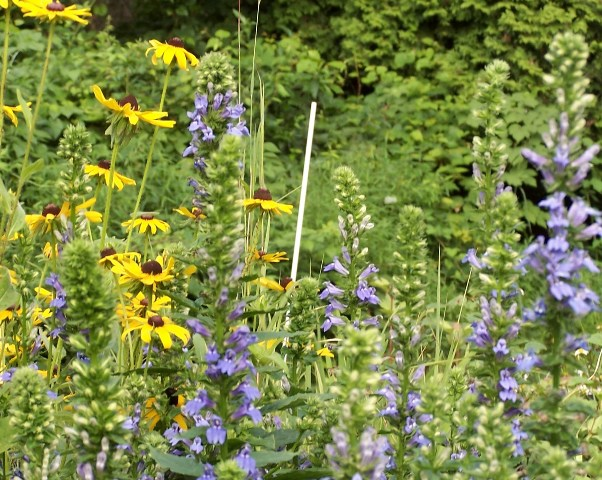 blue-and-yellow-wildflowers